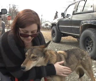 Sarabi, a 3-year-old Iditarod sled dog, was missing for a month after escaping from her handlers.