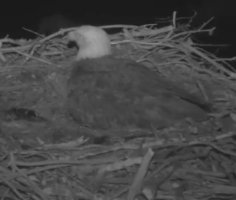 A bald eagle mom sits in her nest Thursday morning. Her two chicks hatched on a live webcam.