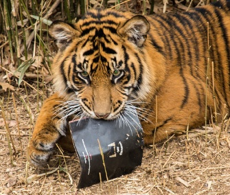 Damai, Sumatran tiger at the National Zoo, poses with the album jacket of the endangered song.