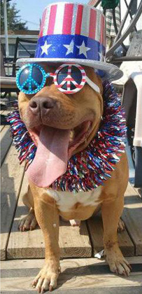 Dog in red, white and blue.