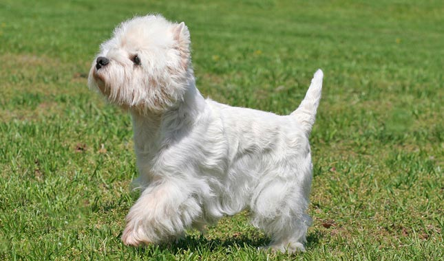 Breed Information About the West Highland White Terrier