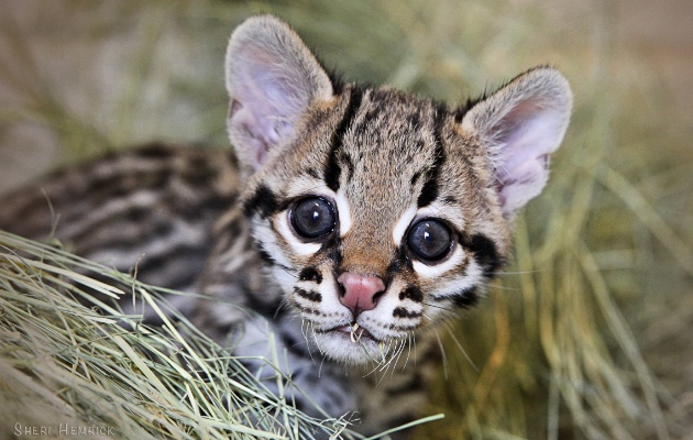 Surprise baby ocelot born at Texas zoo