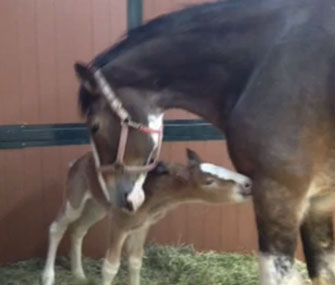 Budweiser is asking the public to name a Clydesdale foal who'll appear in a Super Bowl spot.