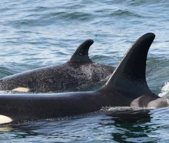 Springer the killer whale was spotted with her calf in Canadian waters last week.