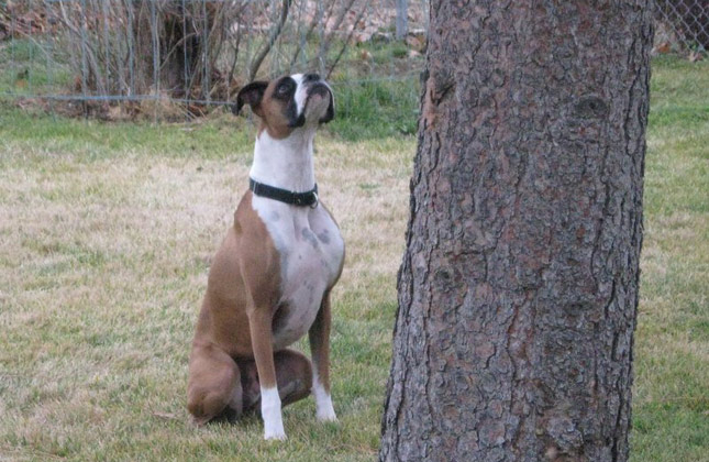 Quincy the Boxer waits patiently for a squirrel