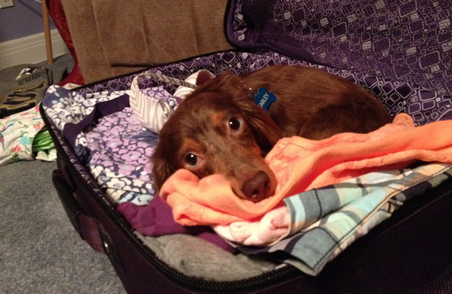 Carley the longhaired Dachshund helps pack.