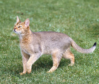 Abyssinian Outdoors