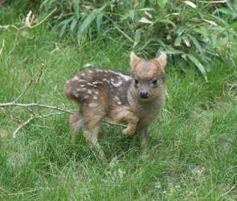 A male southern pudu fawn was born at the Queens Zoo in New York last month.