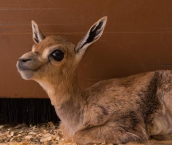 An endangered Speke's gazelle survived thanks to quick action by her keepers at the Oregon Zoo.