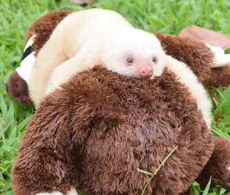 A rescued two-toed baby sloth cuddles with a stuffed animal at the Sloth Sanctuary in Costa Rica.
