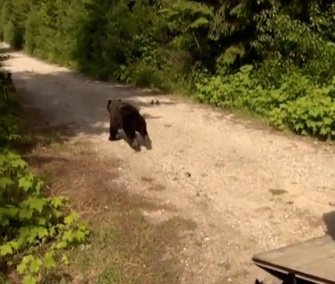After nearly a year of rehabilitation, Cinder the bear was set free in Idaho.