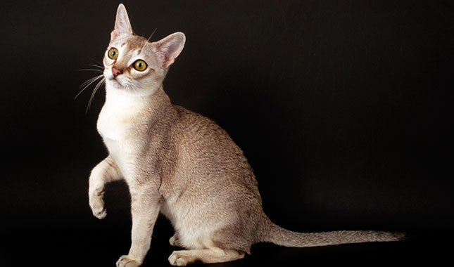 Singapura Cat Breed Information