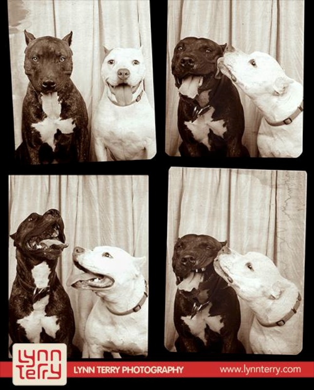 Pit Bulls Tucker and Petunia were the first to sit in Lynn Terry's photo booth.
