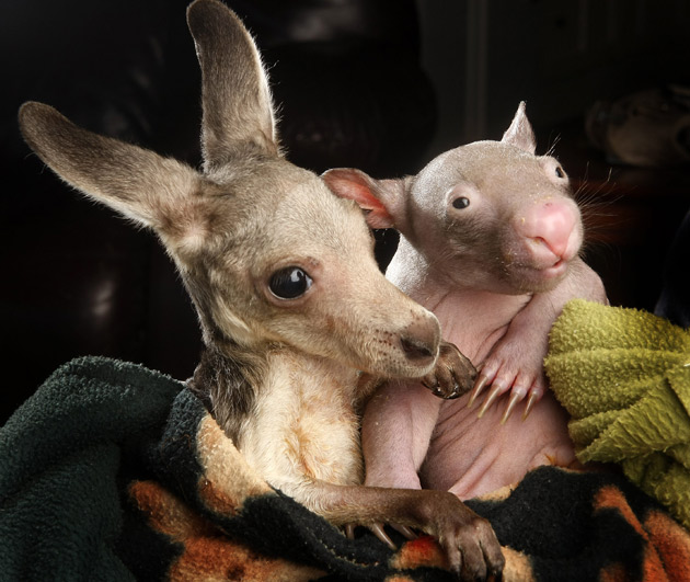 Joey and wombat friends