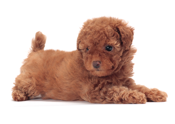 Toy Dog Breeds That Stay Small : Toy sized dogs wow