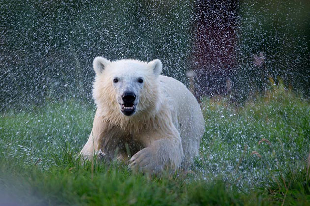 Siku, the polar bear who stole hearts when he was rejected by his mom as an infant, turns 1 year old on Nov. 22.