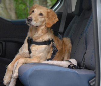 Dog wearing seat belt in car