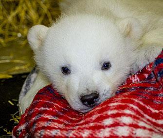 Kali, an orphaned polar bear cub, has been taken in by the Alaska Zoo.