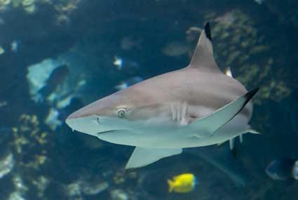 tip shark