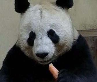 Edinburgh Zoo panda