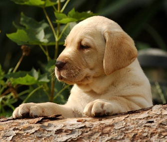 The Labrador Retriever topped the AKC's list of the most popular dog breeds for the 23rd straight year.