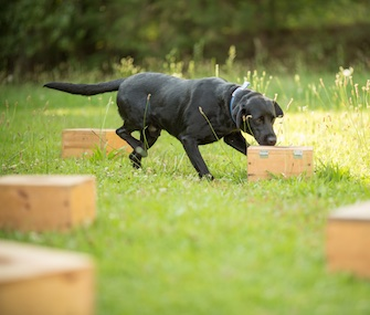A detector dog works on scent training at Auburn University.