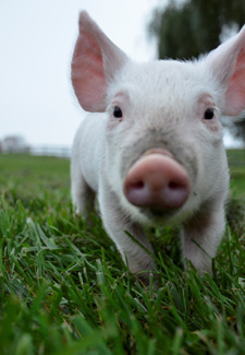 piglet outside on a field of grass