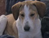 Daniel the Beagle