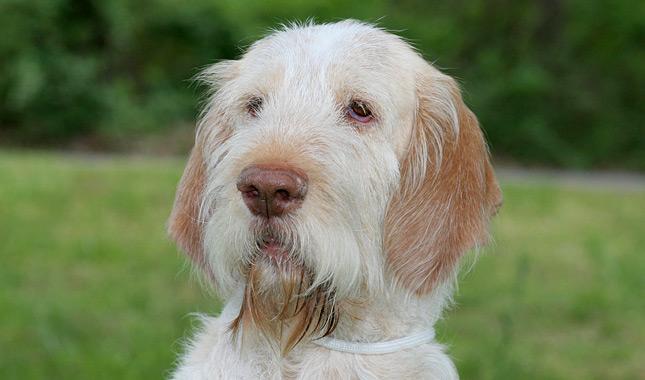 Spinone Italiano Dog Breed Information