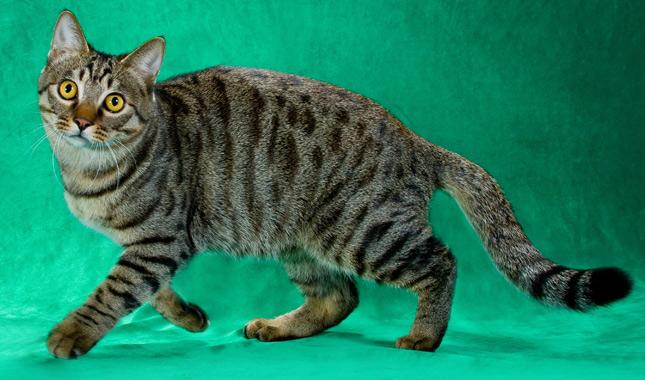 Li Hua Cat Breed Information