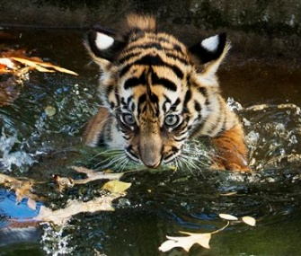 Sukacita, the female tiger cub, proves she can swim at the National Zoo.
