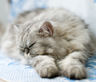Persian cat sleeping