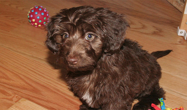 Doxiepoo Dog Breed Information