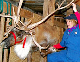 Reindeer with vet
