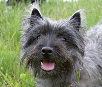 Happy and relaxed Terrier