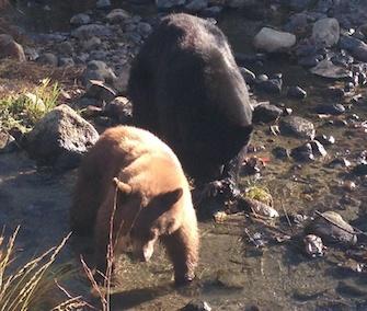 Twitter user TahoeMonika shared this photo of bears at South Lake Tahoe last week.