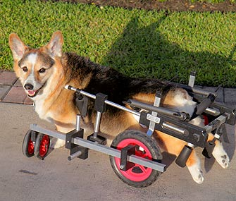 Corgi With Degenerative Myelopathy