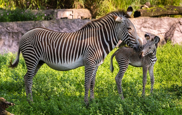 Grevy's Zebra born in Tampa