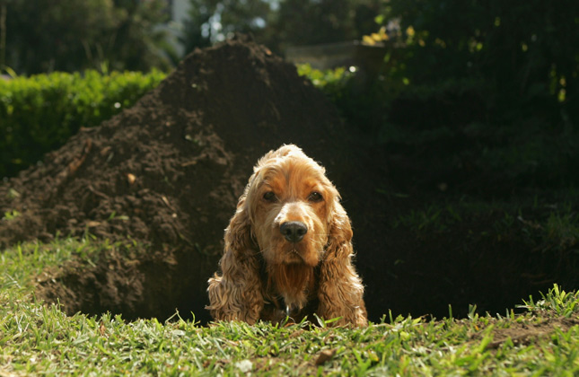 Dog sitting in huge hole he just dug
