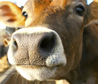 Cow Closeup