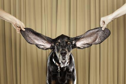 Harbor Dog Long Ears. Ryan Schude/Guinness World Records 2012 Edition