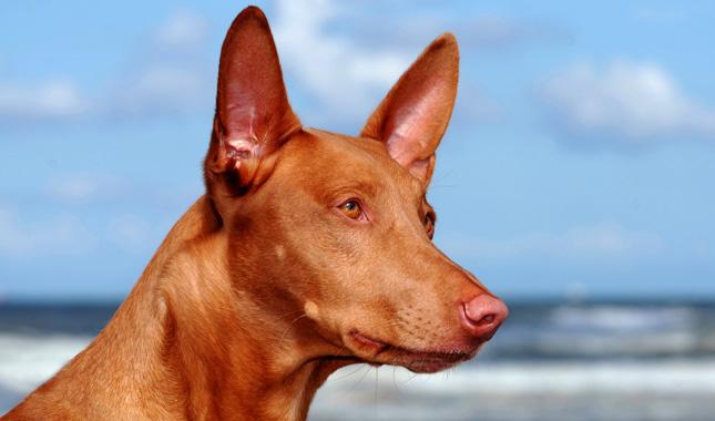 Pharaoh Hound Breed Information