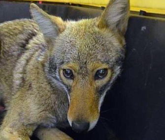 A young, female coyote was safely captured by the NYPD Saturday.