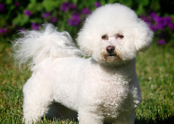 Dog Care Advice Breeds Medium Bichon Frise