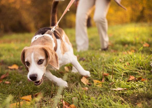 Hasil gambar untuk dog pulls on leash
