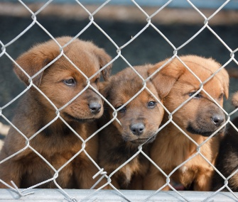 Puppies sit behind a fence
