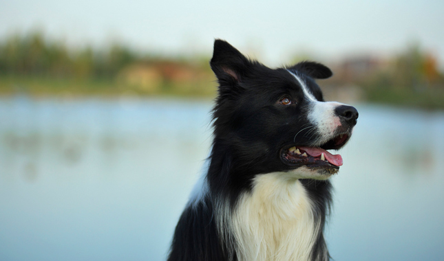 border collie personality
