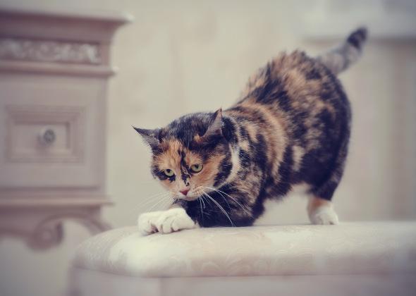 cat scratching furniture thinkstockphotos 544808656 590sm92716