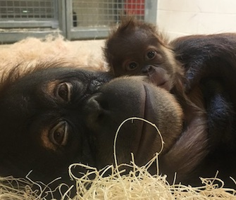 Sumatran orangutan Jahe is content to be reunited with her baby boy.