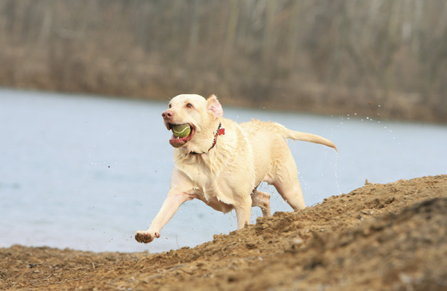 Lab With Tennis Ball